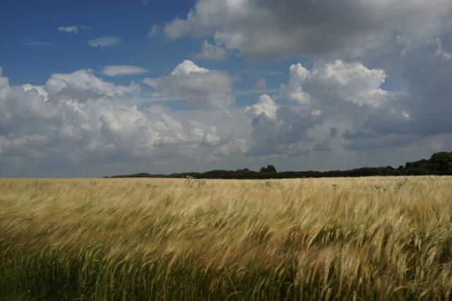 Graanveld in het noorden van Denemarken