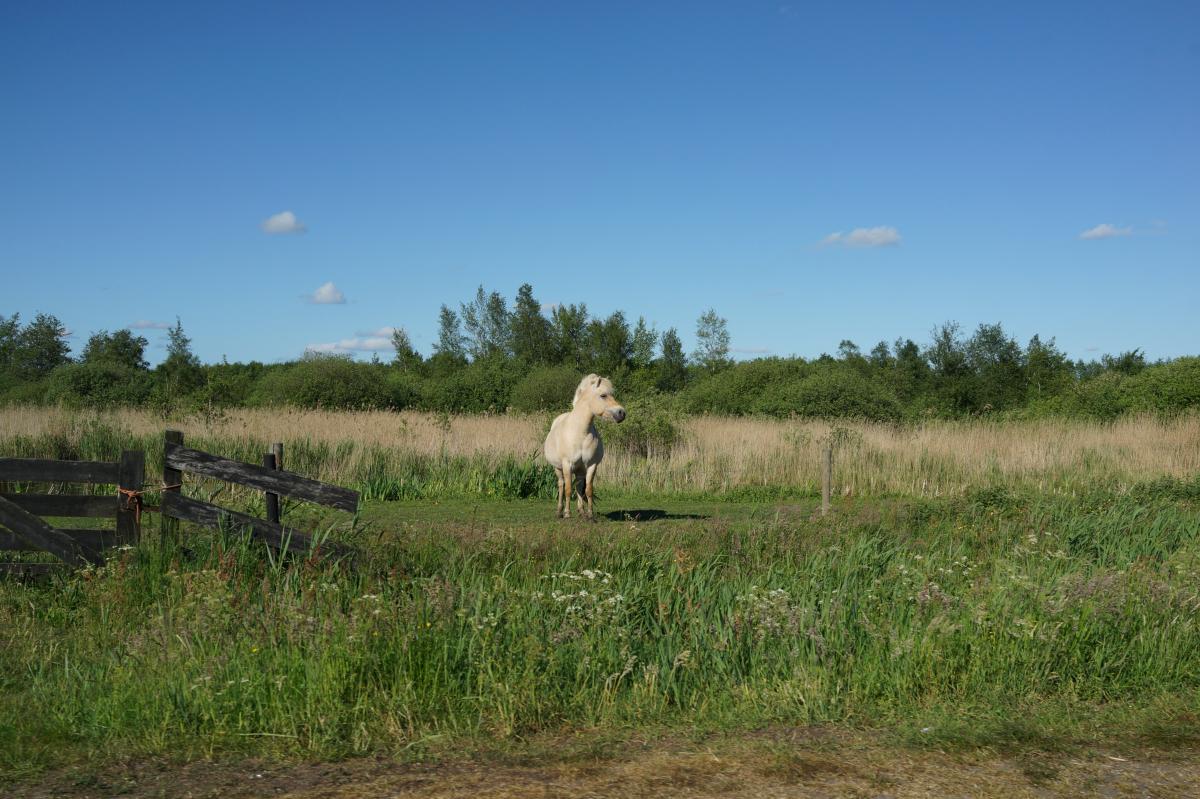 Paard in Weerribben - De Wieden
